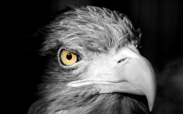 orel, pták, černo-bílé, velký plán