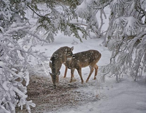 Deer, winter, snow