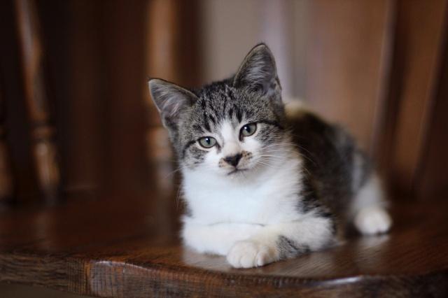 kitten, gray eyes, lies, view, cat