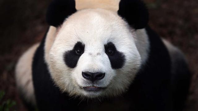 медведь, панда, панда, морда