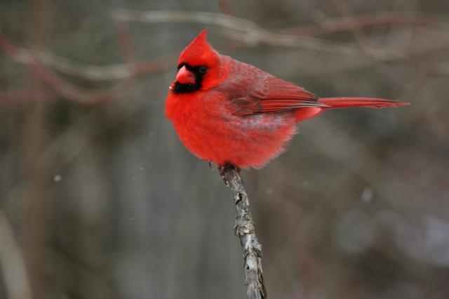 птичка, кардинал, красная