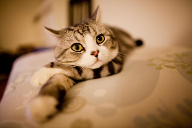 кот, желтые глаза, розовый нос, лежит