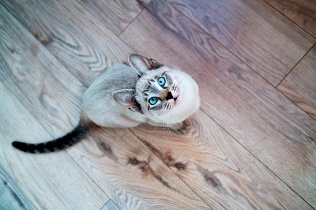 кошка, кот, сиамский, голубые глаза, мордочка, взгляд
