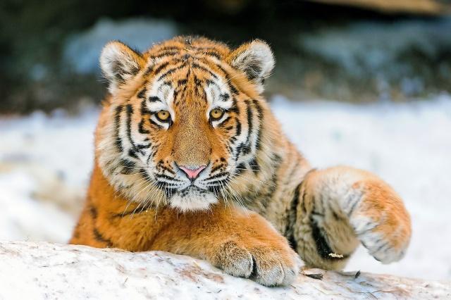 тигр, погляд, тигреня, морда, лапи