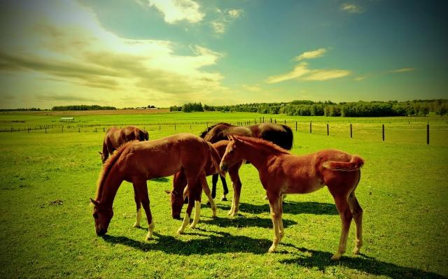тварини, пасовище, коні, лошата, поле
