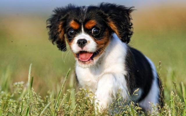 щенок, погляд, собака