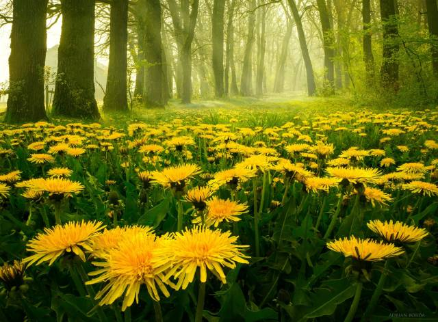 příroda, jaro, les, pampelišky, ráno, světlo, Rumunsko