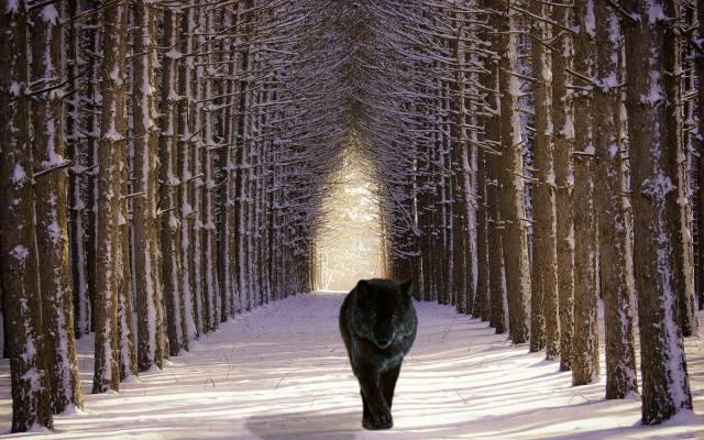волк, лес, дорога, снег, зима