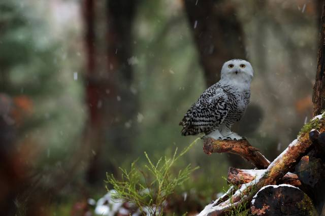 birds of the world, bird, Owl, nature, trees, branches, snag, snow