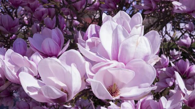 magnolia, krásně