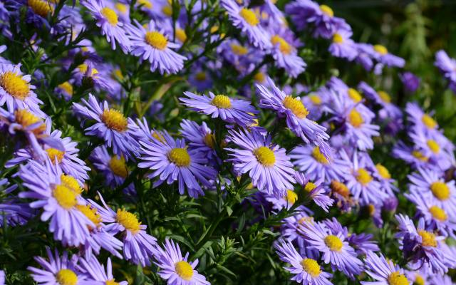 květiny, podzim, astry, сентябринки