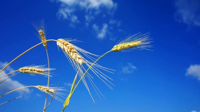 nebe, pšenice, spikes