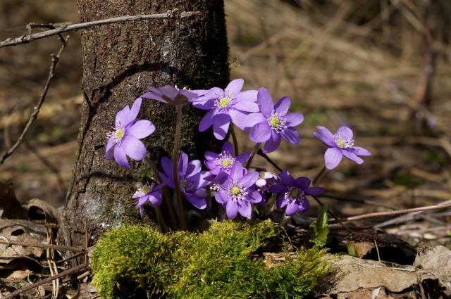 природа, весна, мох, дерево, ствол, цветы