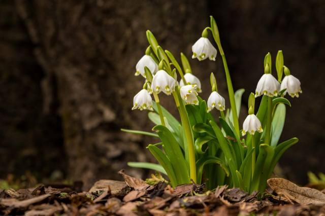 белоцветник, цветы, листья, фон, весна