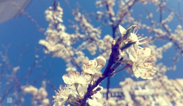 весна, цвет дерева, макро, Алыча, природа, ветки, цветы, цветение, красиво