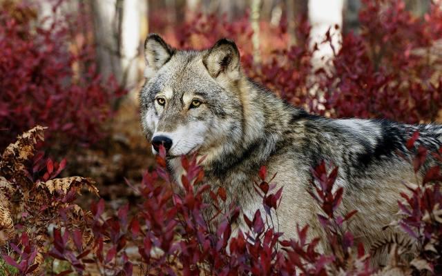 wolf, les, portrét
