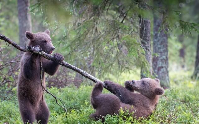 zvířata, dravci, medvědí mláďata, mláďata, příroda, les, tráva, stromy, větvička