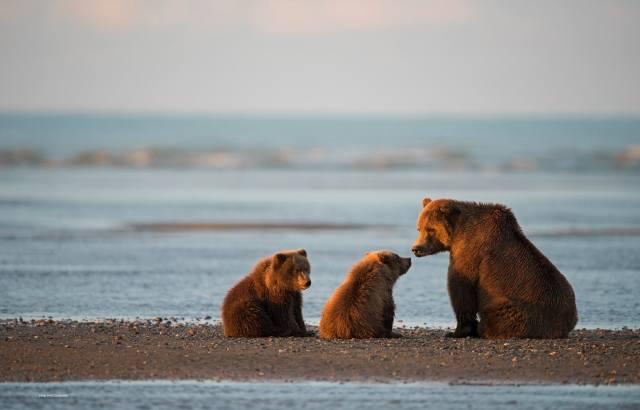 Aljaška, oceán, záliv, příroda, zvířata, dravci, medvědi, Бурые, Vůz