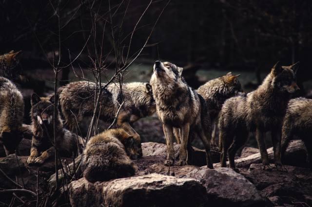 vlci, dravci, zvířata