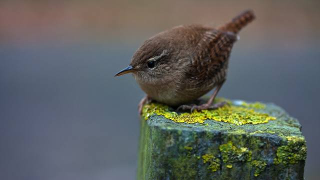 Malá, šedá, ptáček, zblízka