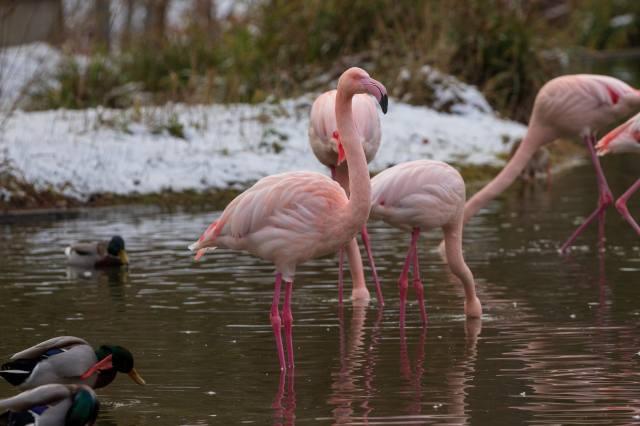 фламинго, вода, утки, снег, зоопарк