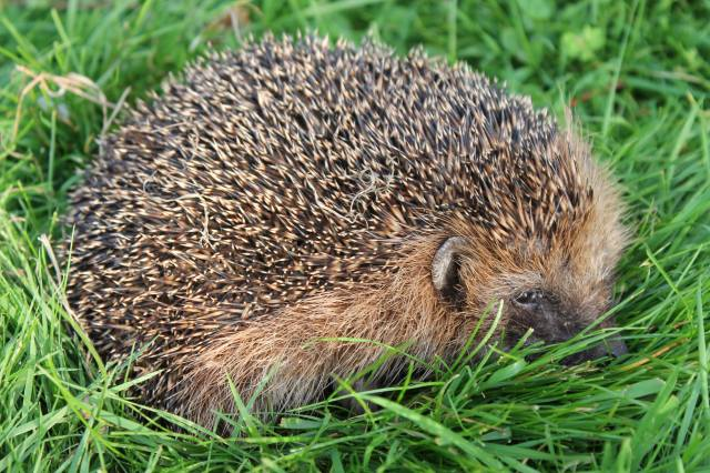 the hedgehog, grass