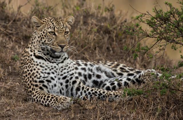 leopard, leopard, predator