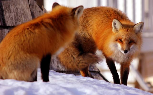 zvířata, Lišky, lišky, PÁR, zima
