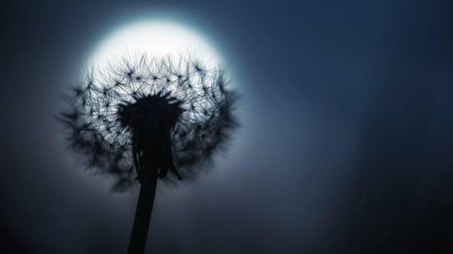 dandelion, the moon, night