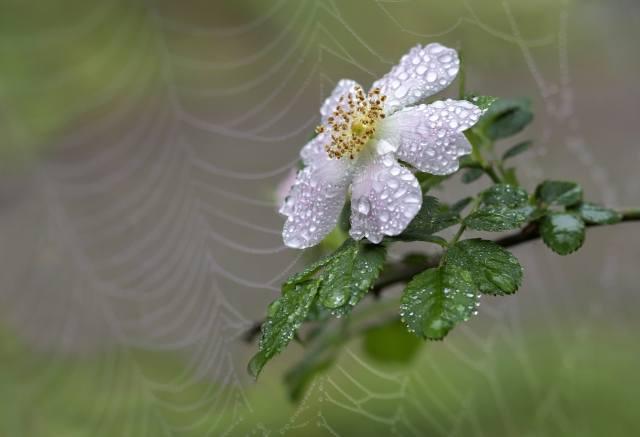 макро, цветок, шиповник, капли, вода, паутина