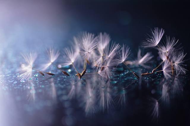 макро, одуванчик, зонтики, семена, капли, вода, отражение