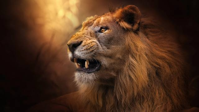 Животное, хищник, лев, голова, профиль, морда