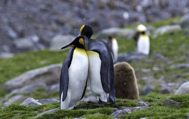 příroda, tráva, kameny, ptáci světa, ptáci, tučňáci, dvojice, sníh