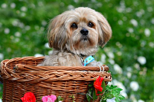 Animal, dog, dog, лхаса апсо, view, basket, nature, summer, flowers