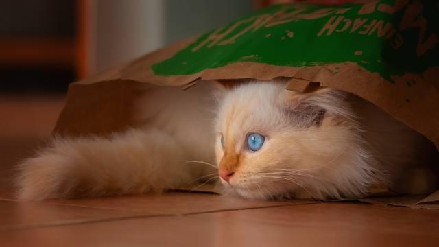 маленький, блакитноокий, кошеня, сидить, в пакете
