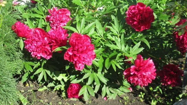 цветы, Пионы, цветут во дворе
