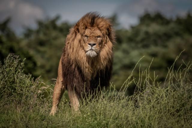 лев, хижак
