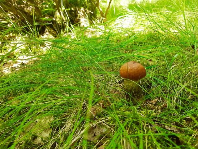 forest, Carpathians, mushroom, White mushroom