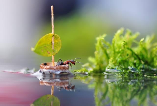 вода, макро, природа, лист, отражение, парусник, муравей, парус, насекомое