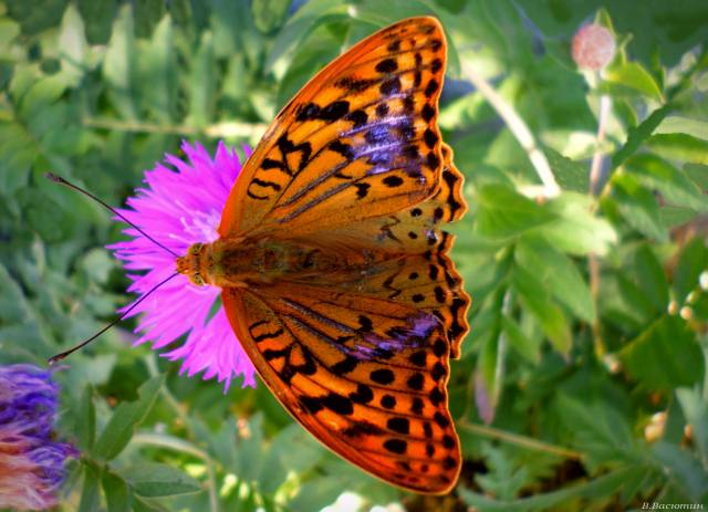 motýl, den, Srpen