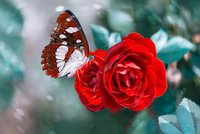 nature, flowers, rose, butterfly, bokeh, macro