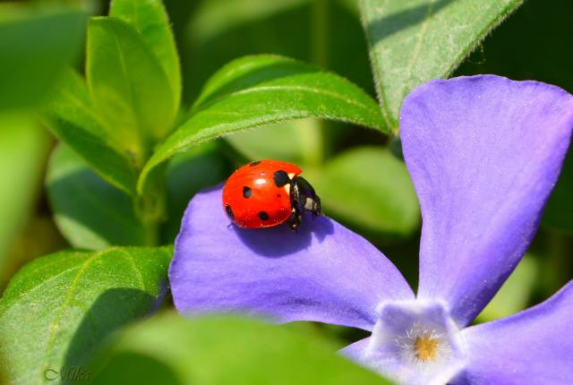mika, nature, macro, flower, leaves, insect, beetle, ladybug