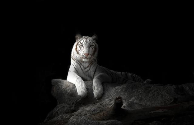 tiger, black, background, white, animals