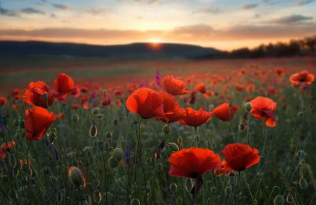 nature, landscape, summer, hills, field, flowers, Maki, sunset