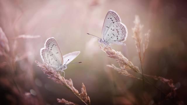 makro, motýli, dvě, колоски
