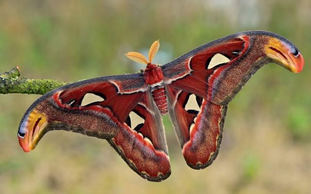 motýl, křídla, tykadla, makro