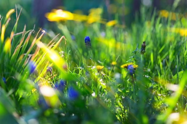 tráva, pampelišky, květiny, modré květy, makro