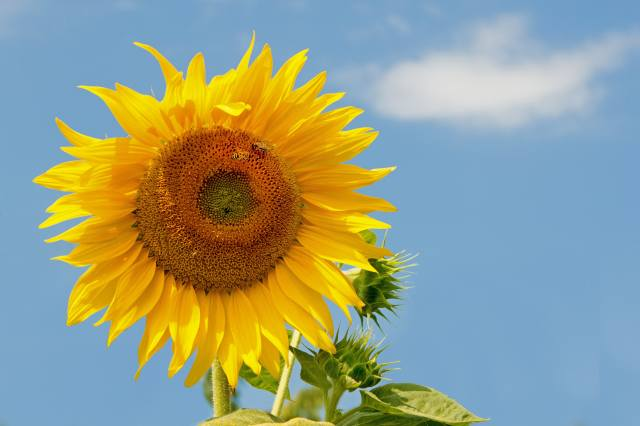 sunflower, the sky, bees