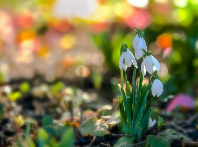 nature, spring, flowers, snowdrops, primroses, bokeh