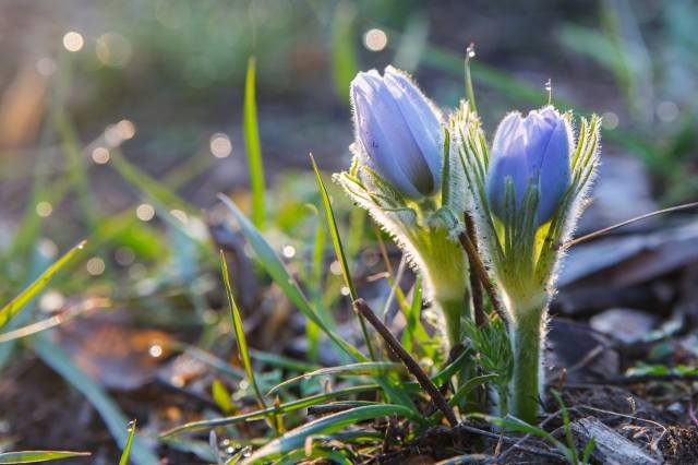 природа, весна, трава, первоцветы, анемоны, сон-трава, бутоны
